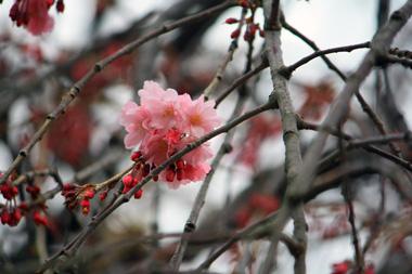 04マロンとこの桜 のコピー