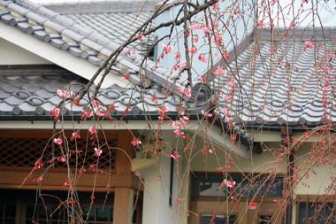 03マロンとこの桜 のコピー