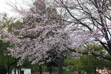 02公園の桜 のコピー