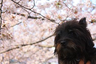 06ぼくと桜 のコピー