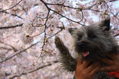 07ルーと桜 のコピー
