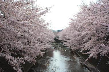 14桜 のコピー