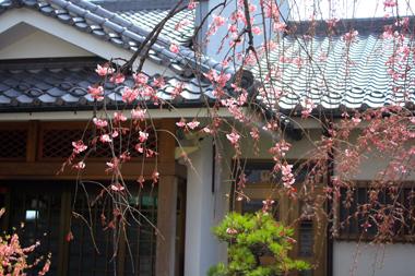 20しだれ桜 のコピー