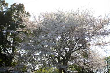 05神社の桜 のコピー