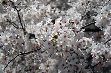 05桜 のコピー