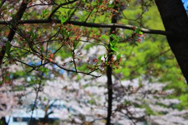 06葉桜 のコピー