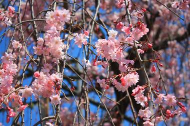 16しだれ桜 のコピー