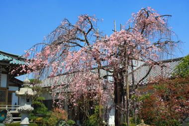 15しだれ桜 のコピー