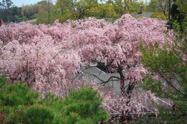 10桜 のコピー