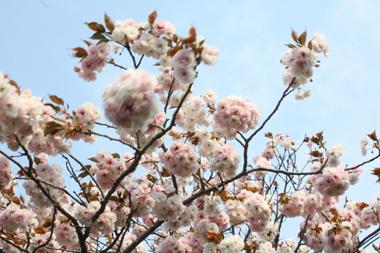 09桜 のコピー