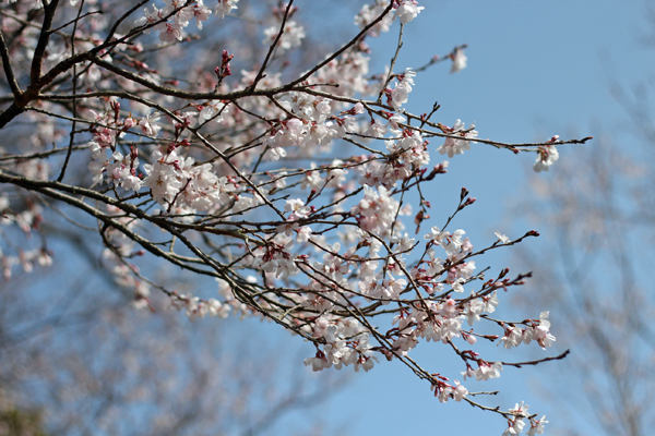 04桜 のコピー