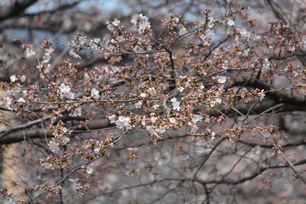 08桜 のコピー