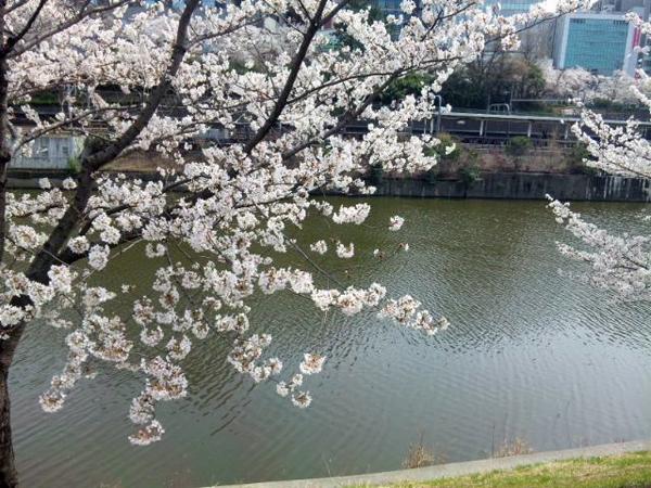 01市ヶ谷桜