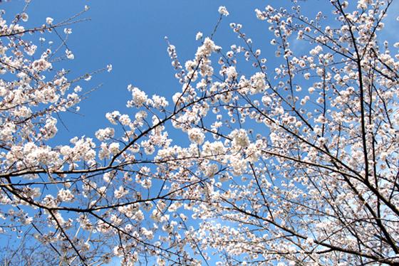 03神社桜 のコピー