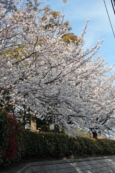 02神社桜 のコピー