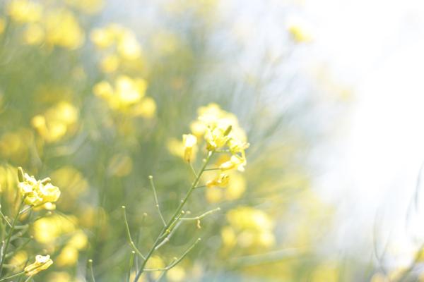 02菜の花 のコピー