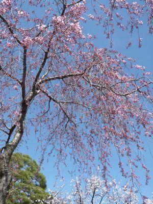 善光寺の桜