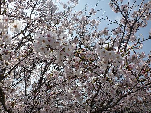 2011.04.11花見1