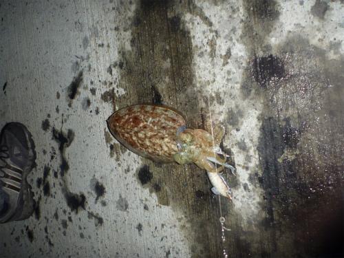 2011.04.18コウイカ釣り8