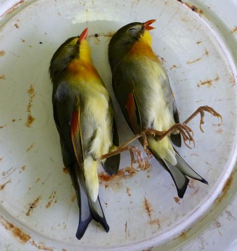 2011.05.24小鳥の丸焼き