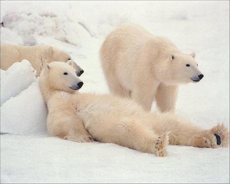 white-polar-bears.jpg