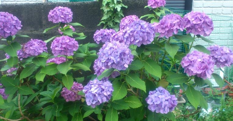 s-紫陽花20130613-1