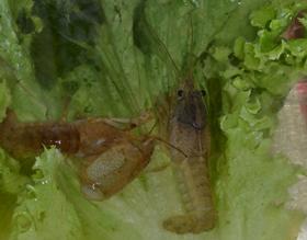 Crayfish_Zoey3
