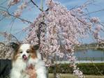 早咲き桜とぴー