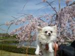 早咲き桜とまりあ