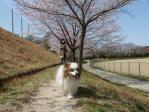 ぴーちゃん桜並木