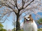 桜とえがおのぴーちゃん