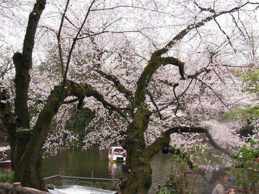 sakurainokashira6.jpg