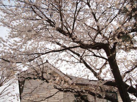 桜@宣教師館