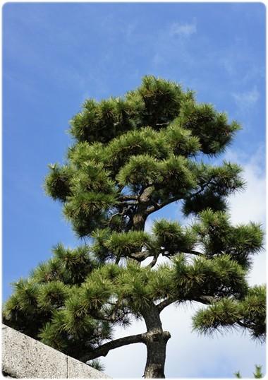 松ノ木と青空
