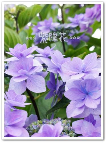 キレイな紫陽花