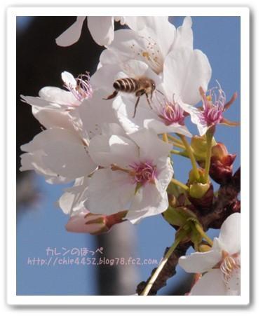ハチさんもお花見