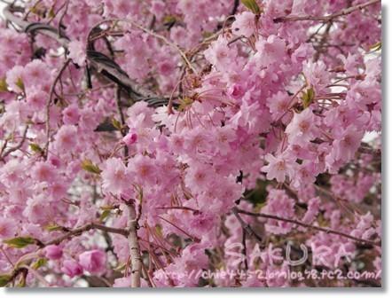 八重桜 キレイ