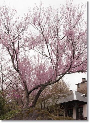 上に向かう桜