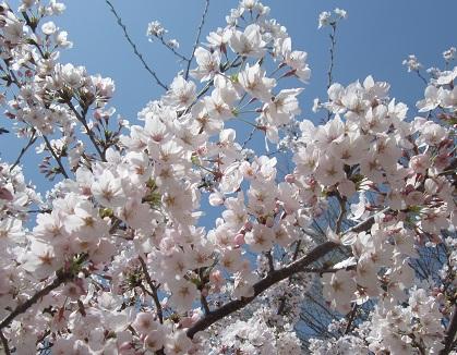 桜カットブログ