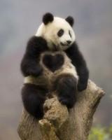 あやかり待ち受け 胸にハートのあるパンダ