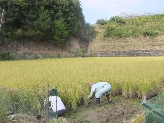 2011稲刈り1