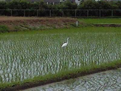 20100620田んぼと白鷺