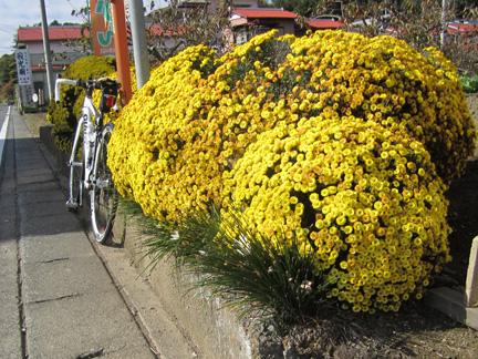 20101120やまゆりライン入口の菊