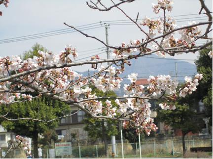 20110402少し咲いていた桜