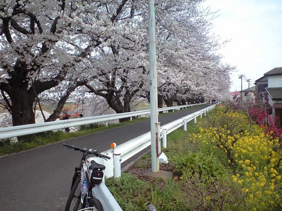 20110413金目CRの桜