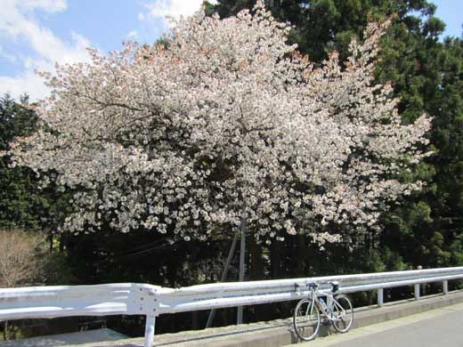 20110422桜の花とGIANT DEFY ADVANCED3