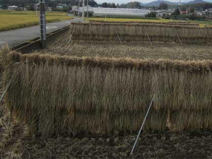 20110925稲刈り