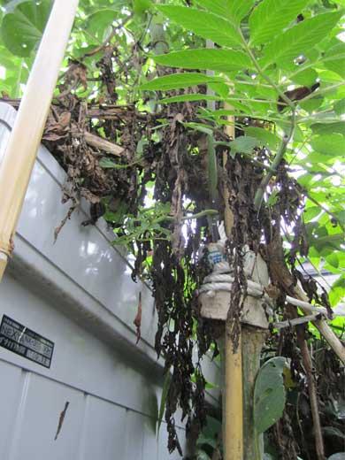 20111106青虫クンに食べられた葉っぱ
