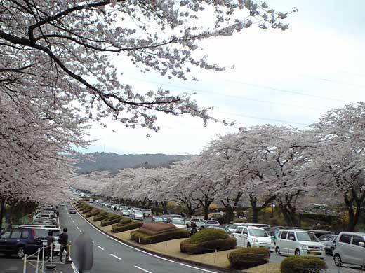 20120421 桜