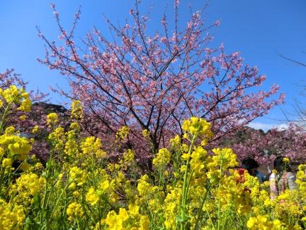25年桜と菜の花1